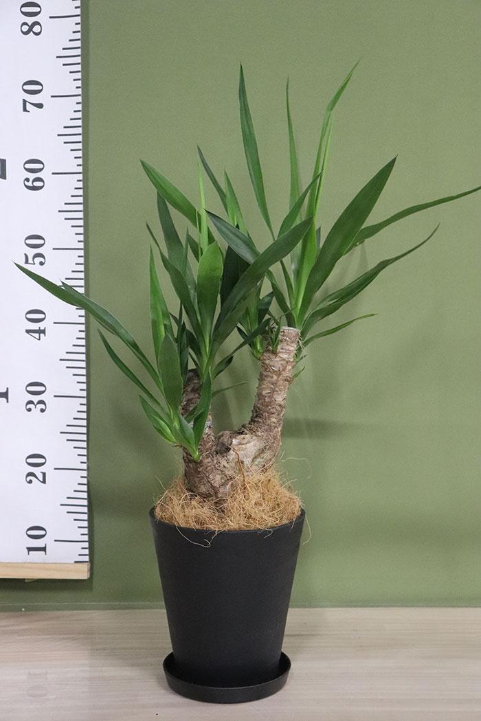 観葉植物 ユッカ ブランチ (6号鉢)※一点物 ③