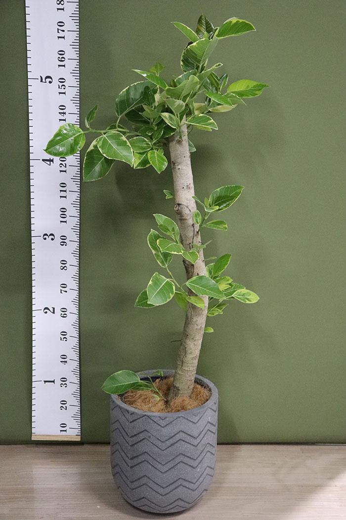 観葉植物 フィカスアルテシマ (10号鉢)※一点物 ①
