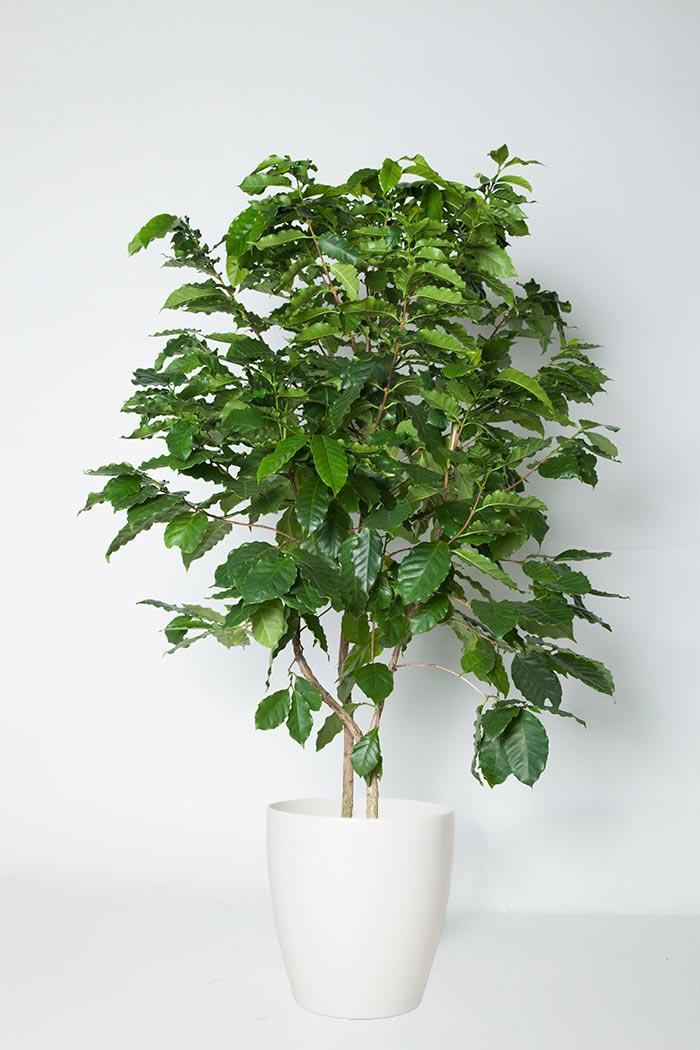 観葉植物 コーヒーの木(10号鉢)