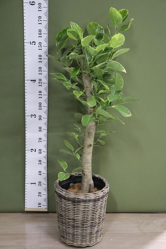 観葉植物 フィカスアルテシマ (10号鉢)※一点物 ②