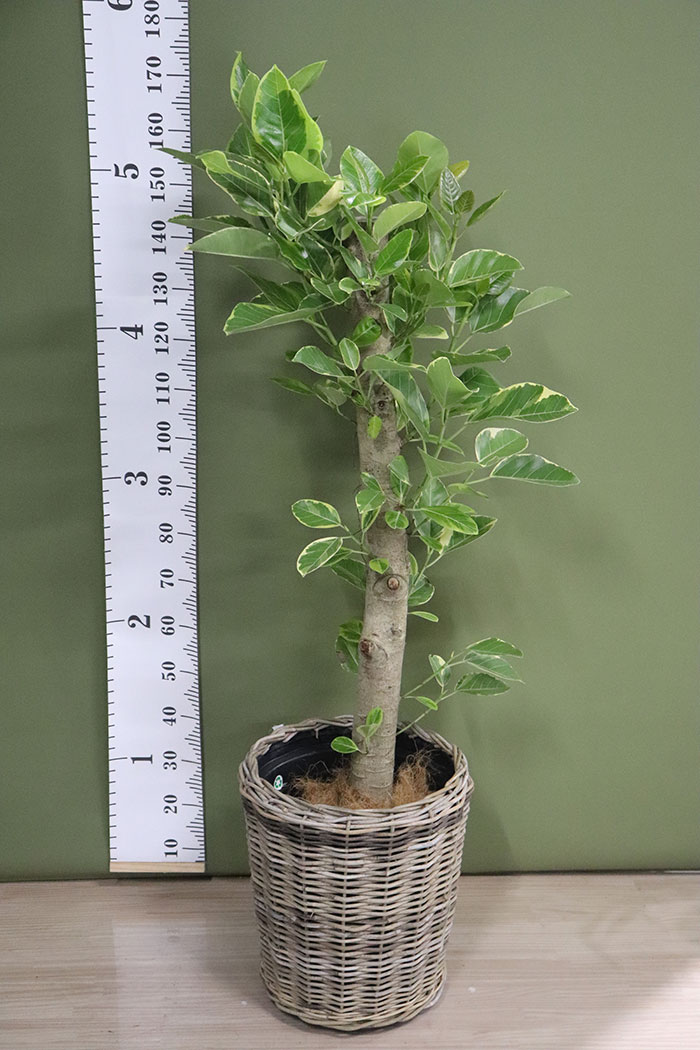 観葉植物 フィカスアルテシマ (10号鉢)※一点物 ③