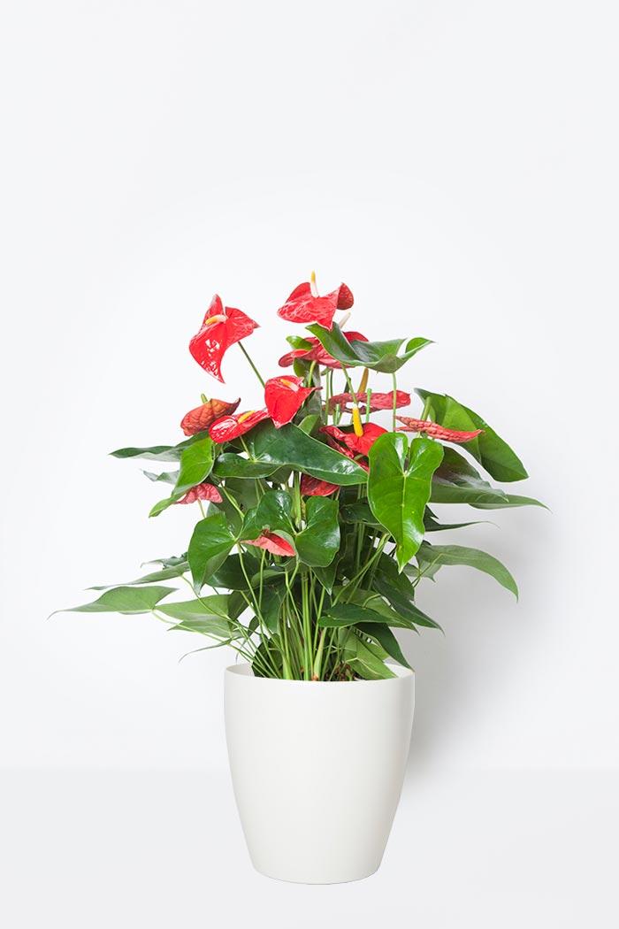 観葉植物 アンスリウム(8号鉢)