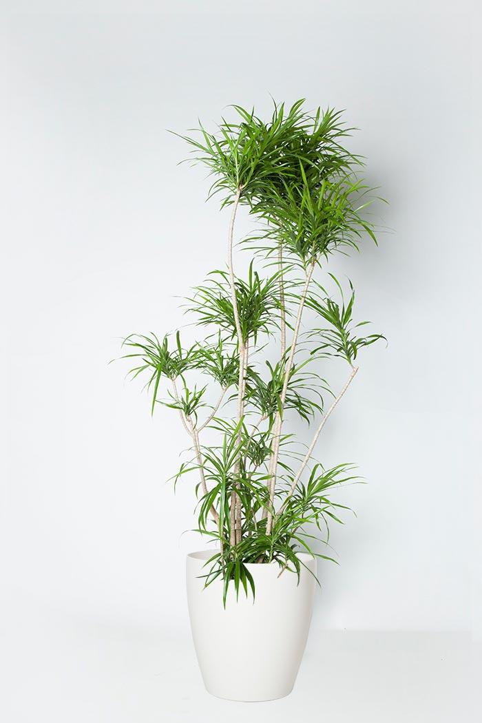 観葉植物 ドラセナ リフレクサ(10号鉢)
