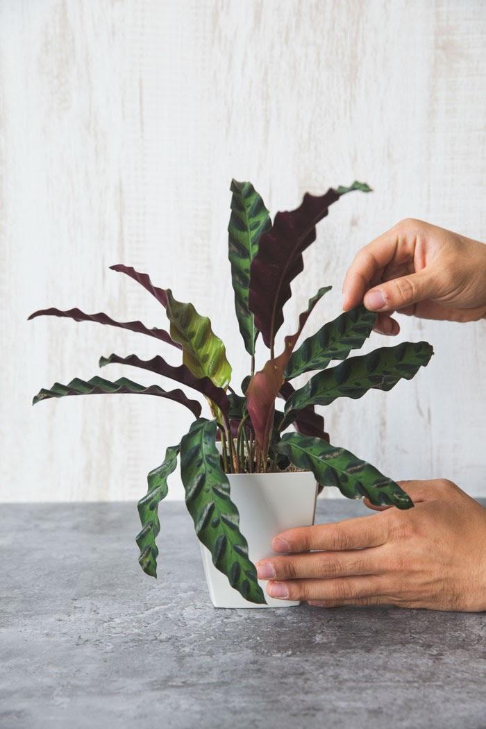 観葉植物 カラテア ランキフォリア(4号鉢)