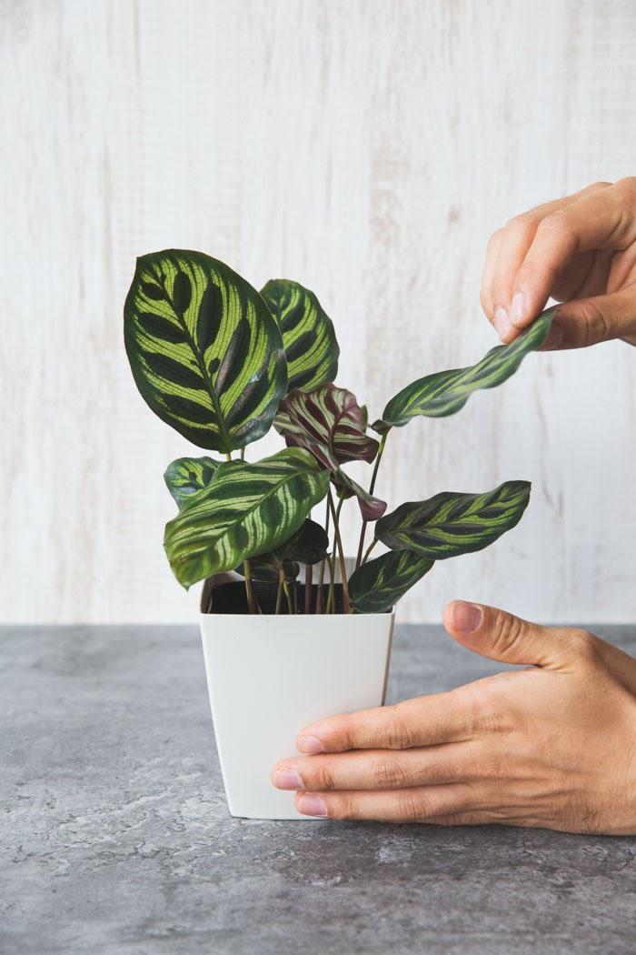 観葉植物 カラテア マコヤナ(4号鉢)