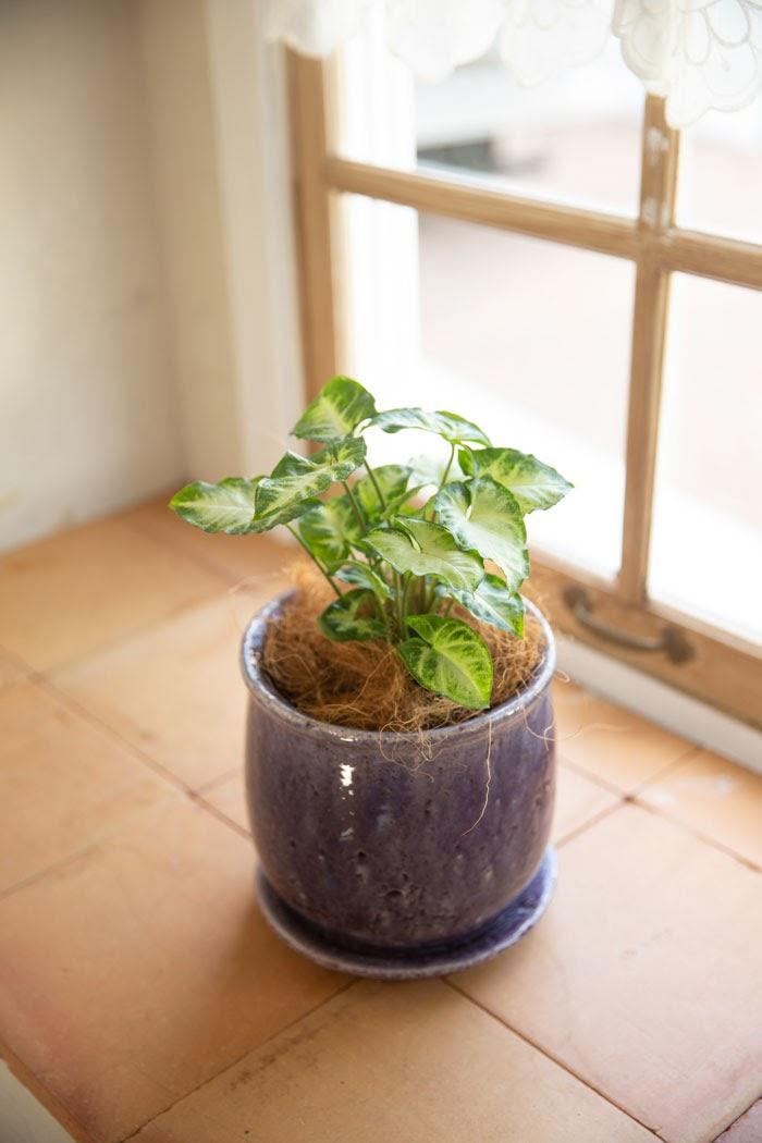 観葉植物 シンゴニウム(4号鉢)