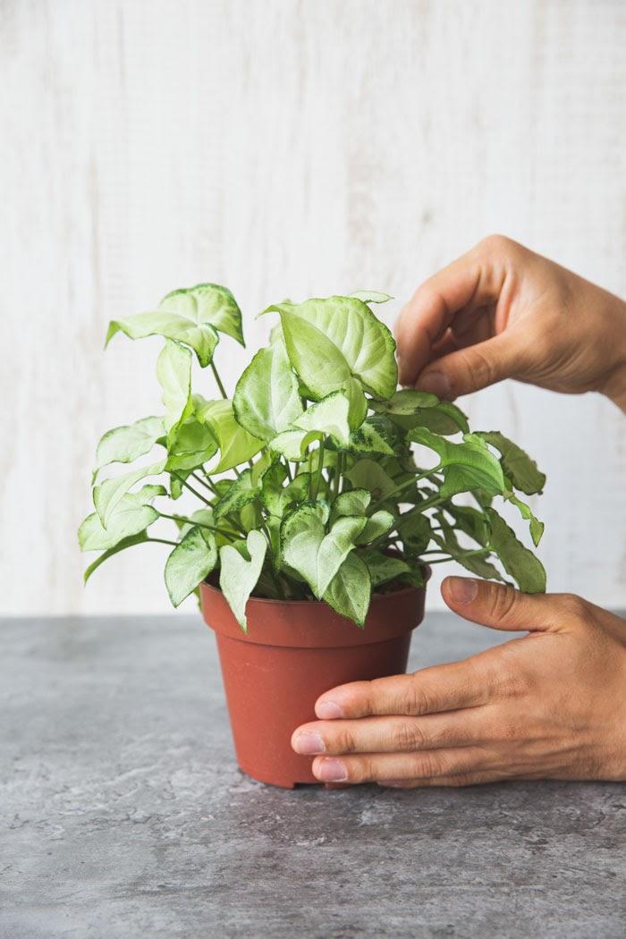 観葉植物 シンゴニウム ホワイトバタフライ(4号鉢)