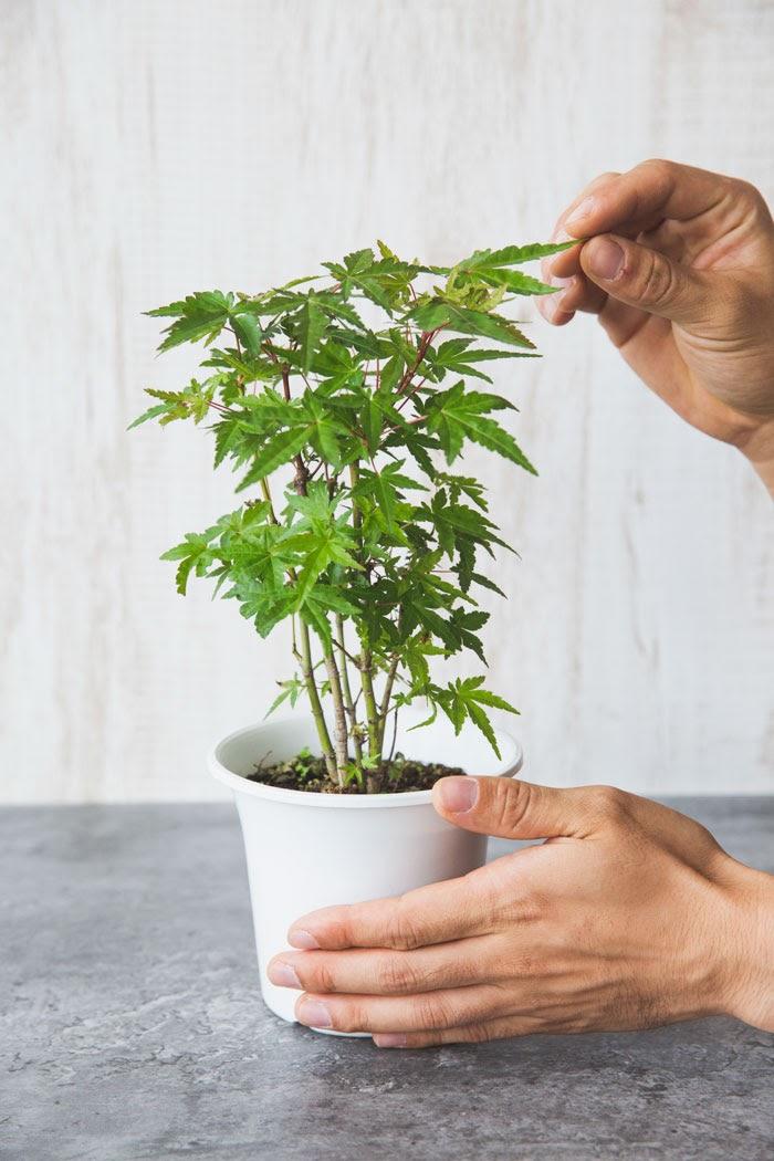観葉植物 イロハモミジ(4号鉢)