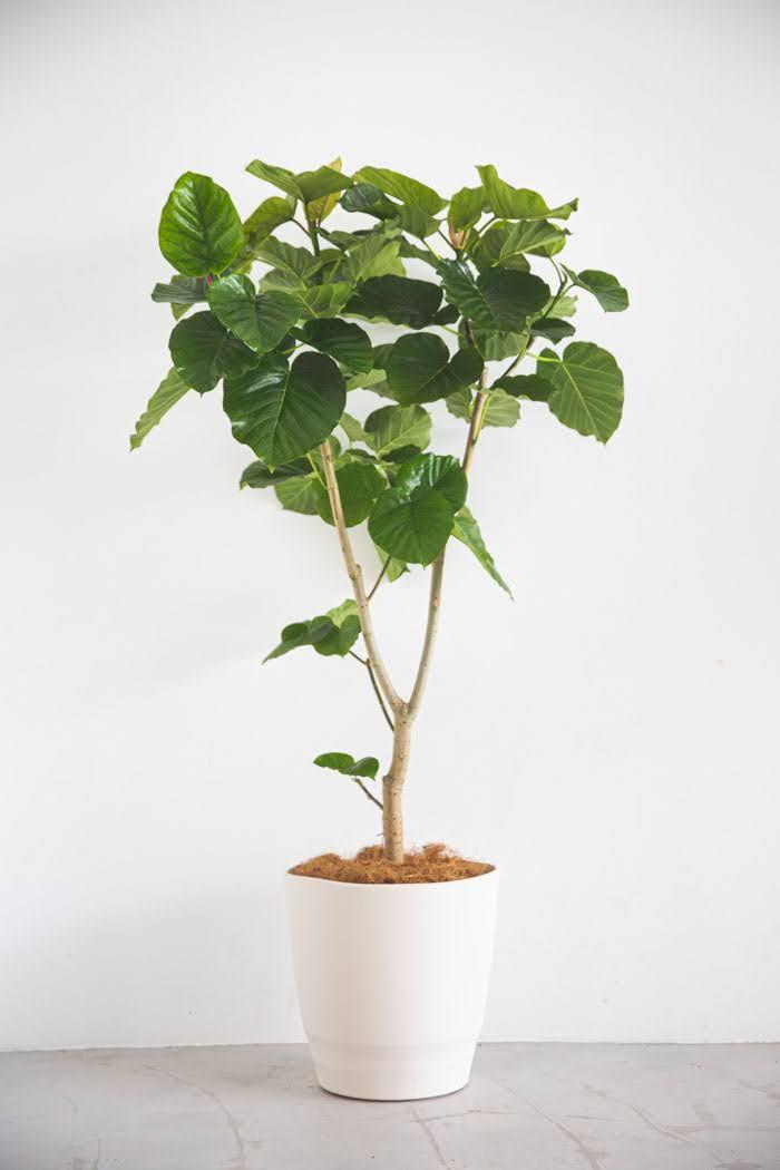 観葉植物 フィカス ウンベラータ(10号鉢)
