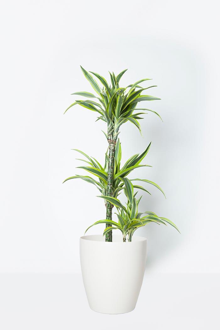 観葉植物 ドラセナワーネッキーレモンライム(8号鉢)