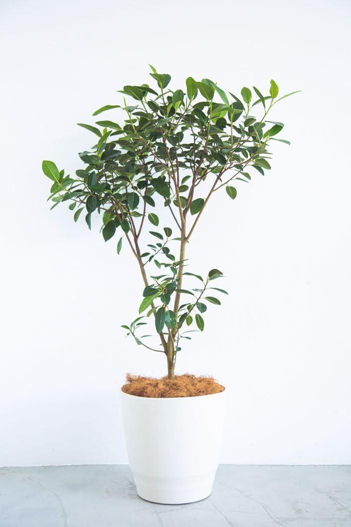 観葉植物 フランスゴムの木(10号鉢)