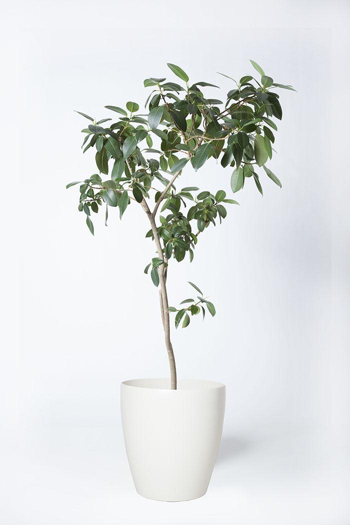 観葉植物 フランスゴムの木(8号鉢)
