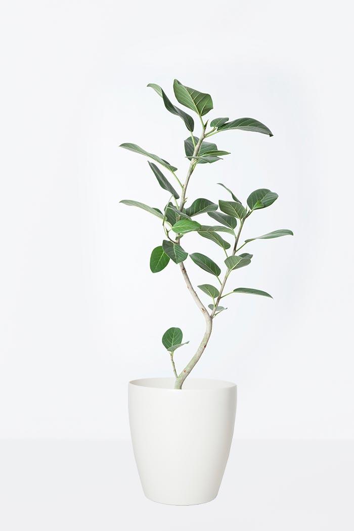 観葉植物 フィカス ベンガレンシス(8号鉢)