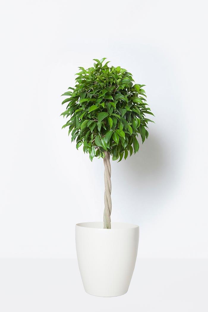 観葉植物 フィカス ベンジャミン(8号鉢)