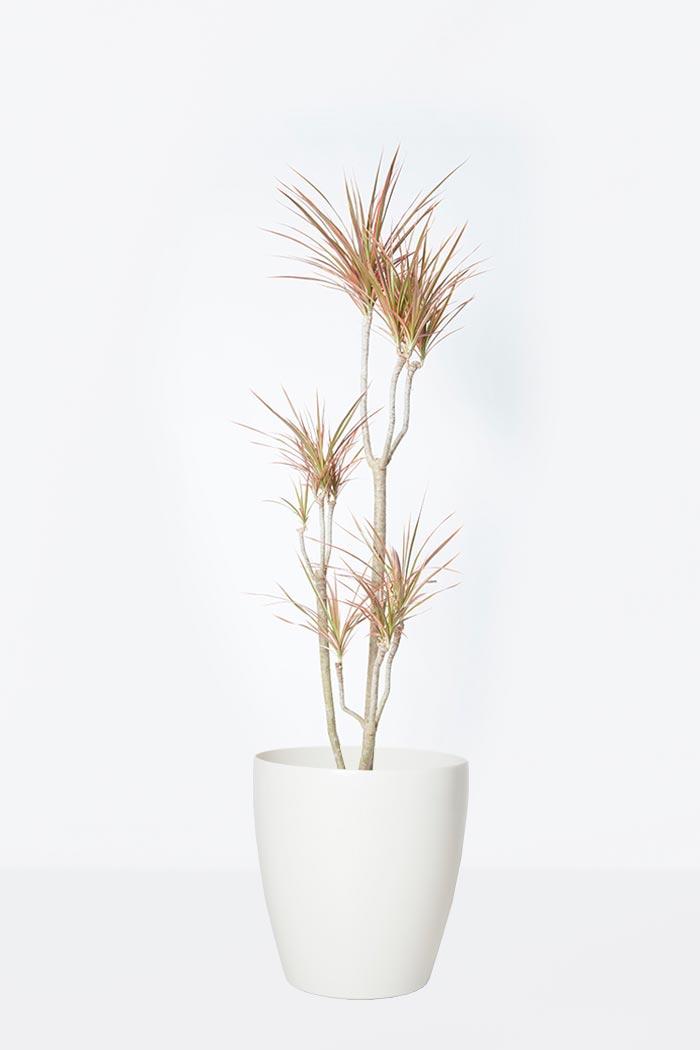 観葉植物 ドラセナ コンシンネ レインボー(8号鉢)