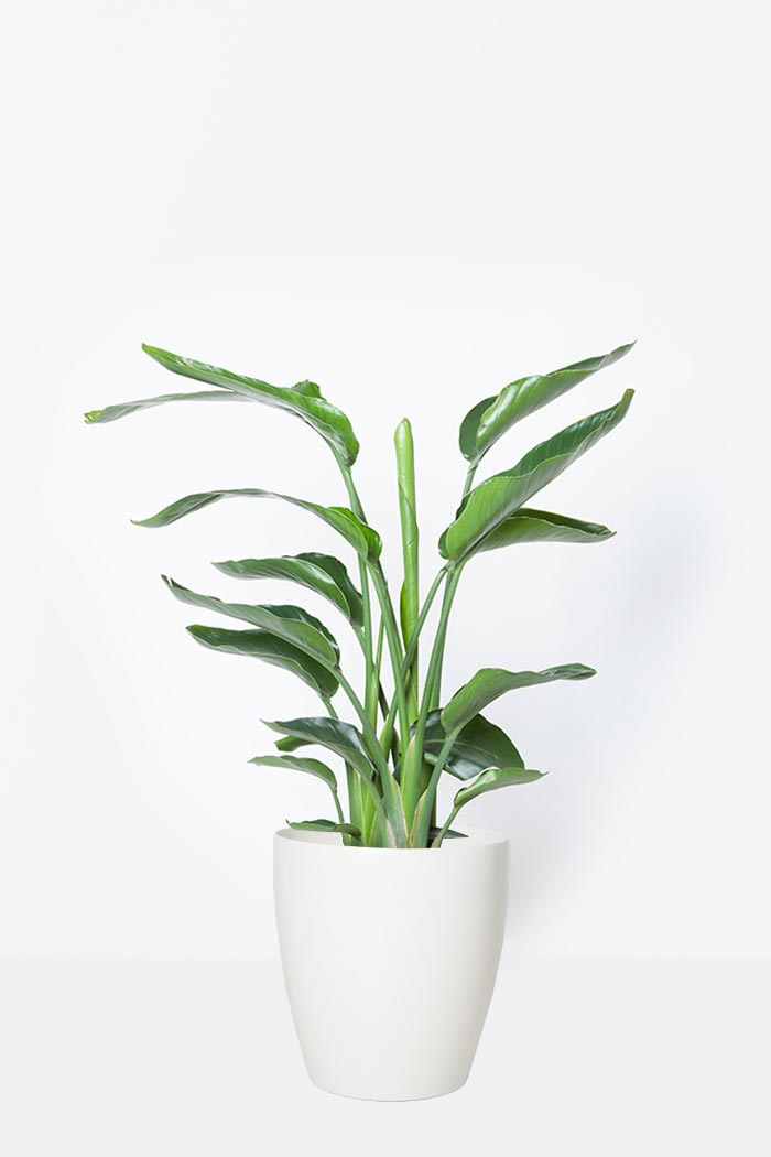 観葉植物 オーガスタ(8号鉢)