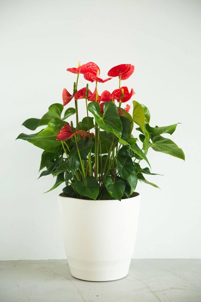 観葉植物 アンスリウム(10号鉢)
