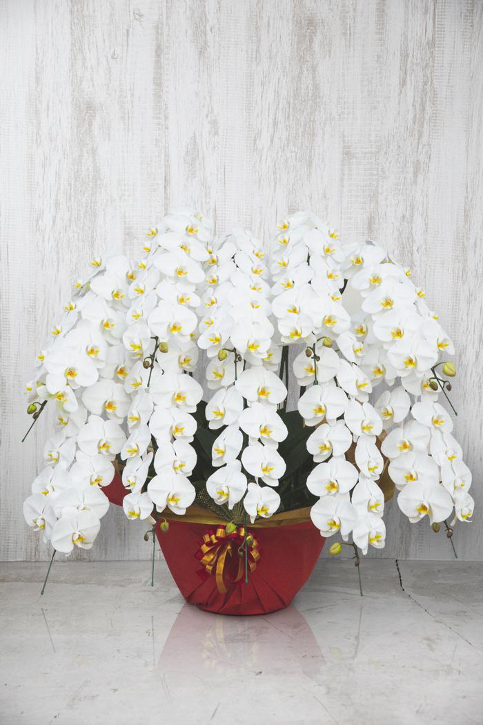 胡蝶蘭 100輪以上 10本立ち 白