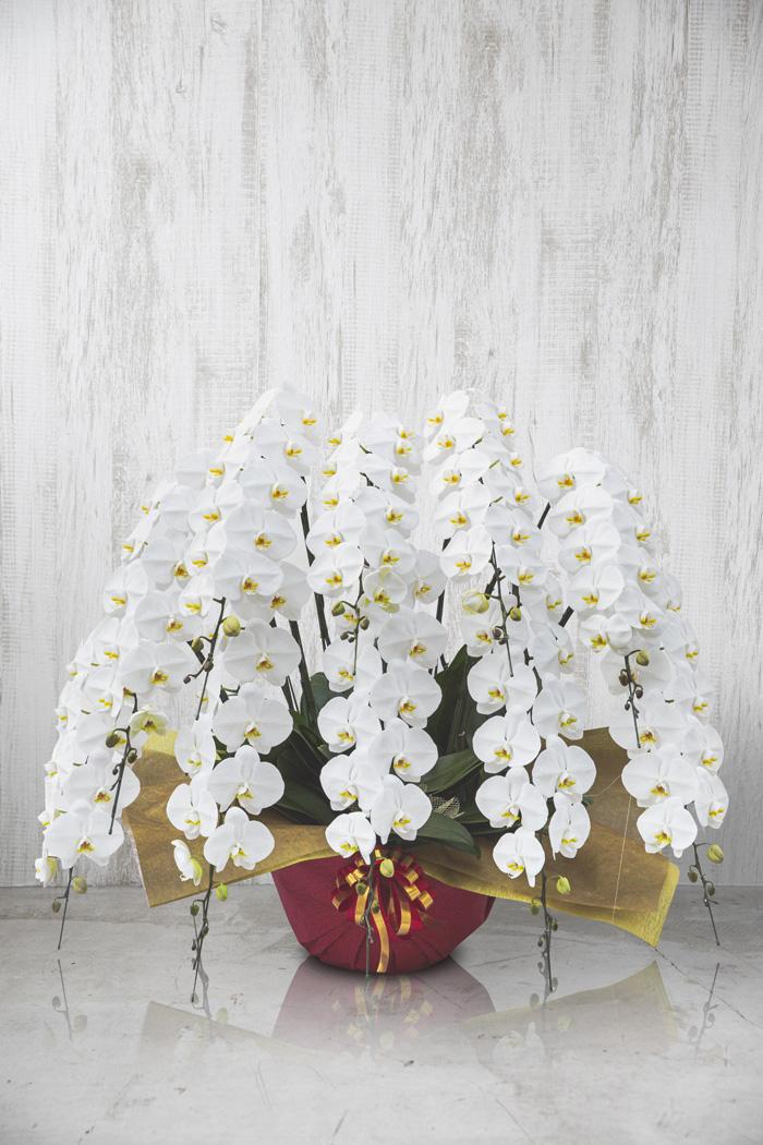 胡蝶蘭 120輪以上 10本立ち 白