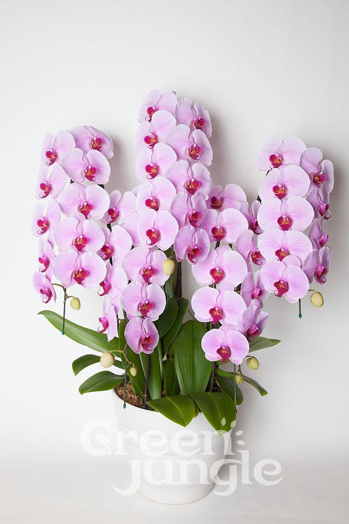 胡蝶蘭 50輪~60輪 5本立ち ピンク