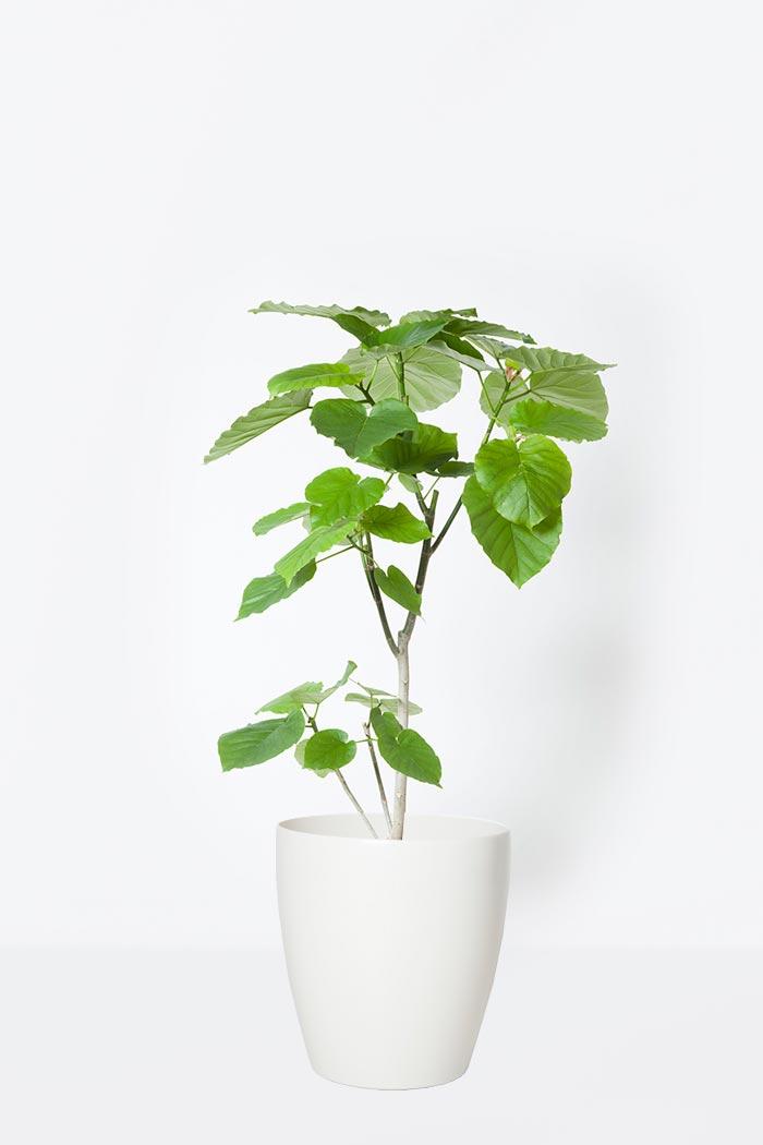 観葉植物 フィカス ウンベラータ(8号鉢)