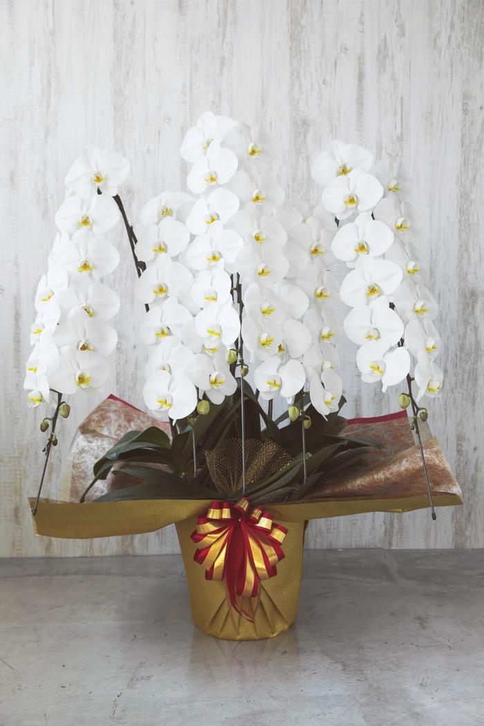 胡蝶蘭 60輪以上 5本立ち 白