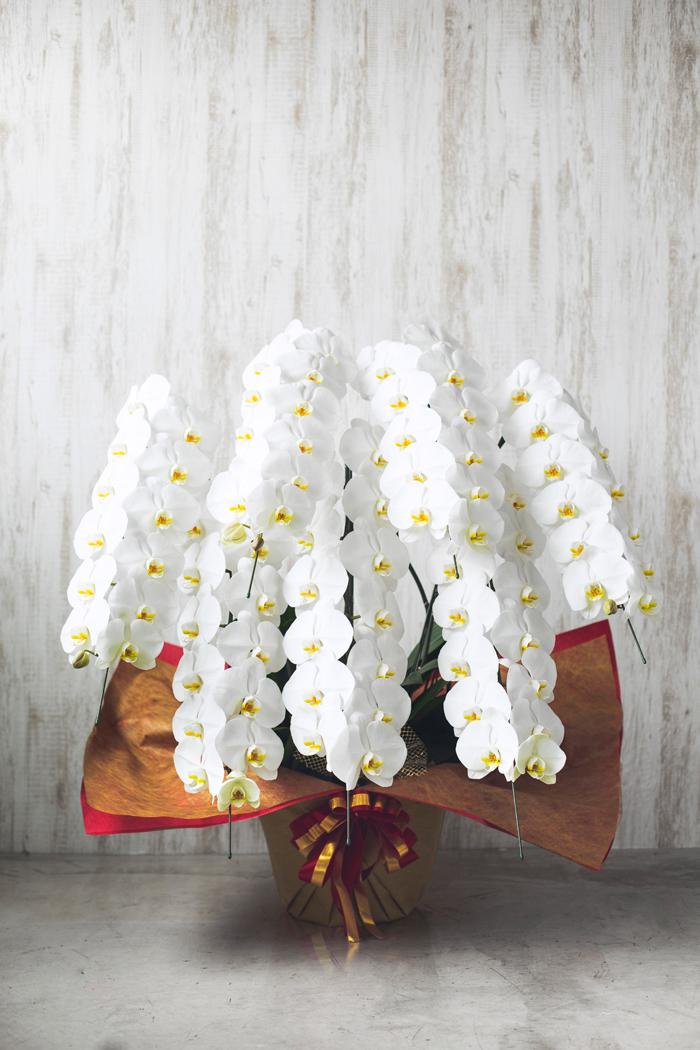 胡蝶蘭 90輪以上 7本立ち 白