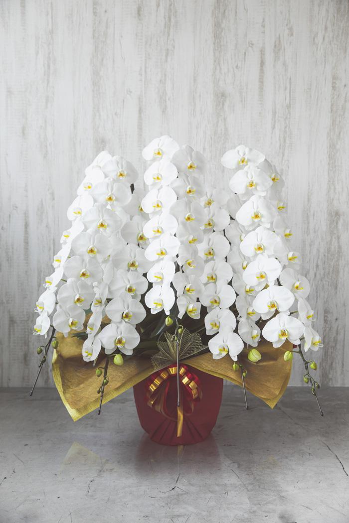 胡蝶蘭 80輪~90輪 5本立ち 白