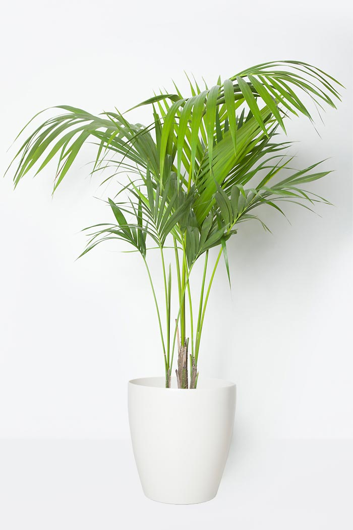 観葉植物 ケンチャヤシ(8号鉢)