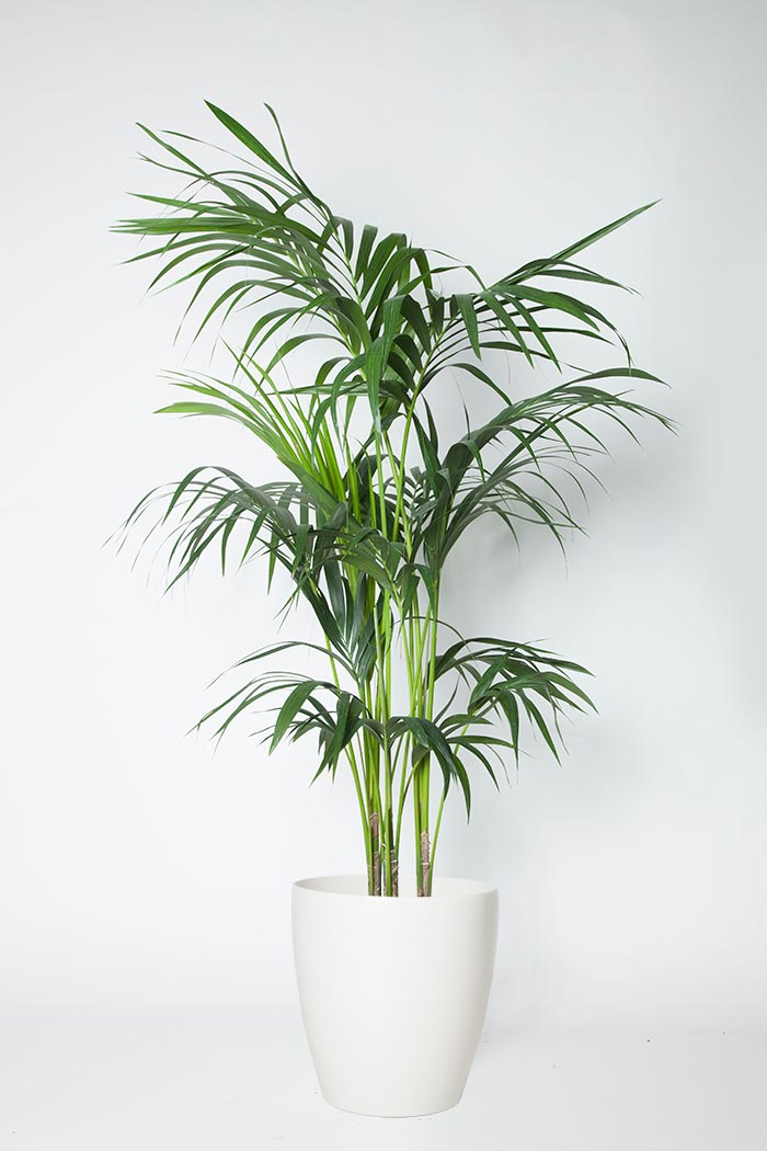 観葉植物 ケンチャヤシ(10号鉢)