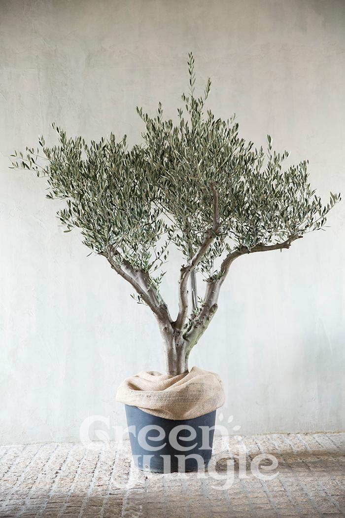 オリーブの木 SOUJU #0002(限定1点)