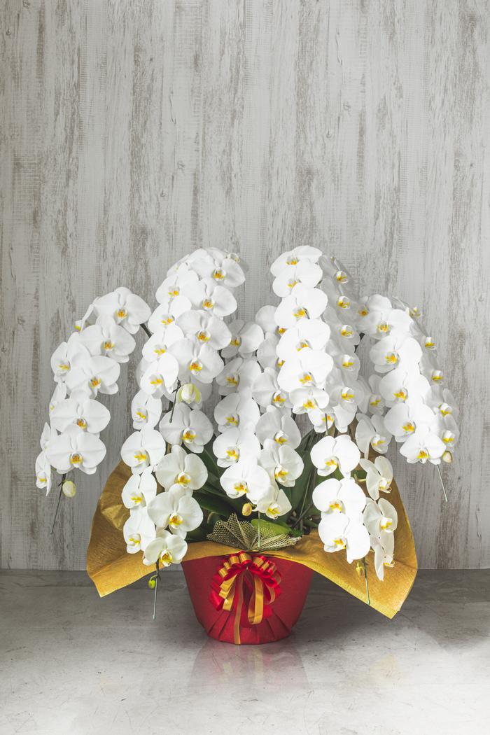胡蝶蘭 80輪以上 7本立ち 白
