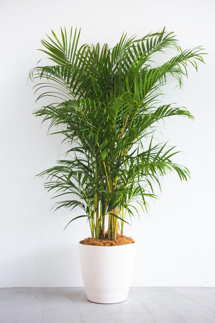 観葉植物 アレカヤシ(10号鉢)