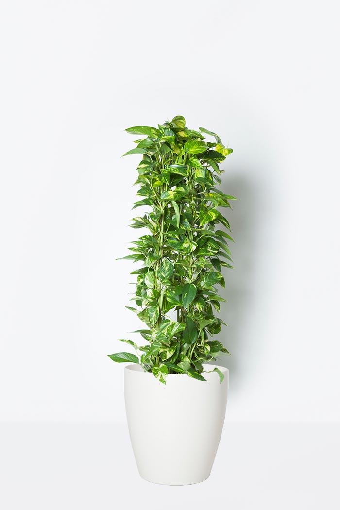 観葉植物 ポトス(8号鉢)