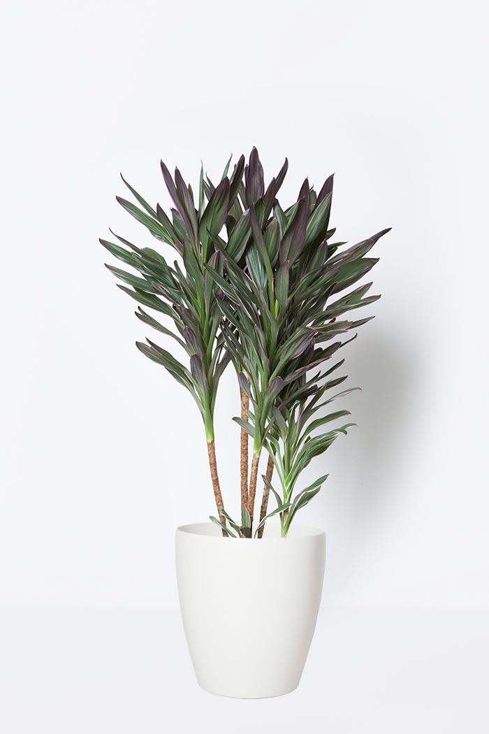観葉植物 コルジリネサンゴ(8号鉢)