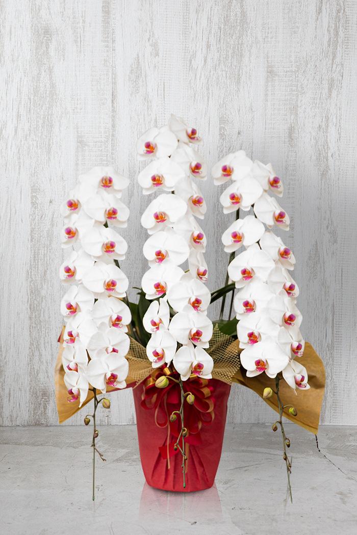 胡蝶蘭 50輪以上 3本立ち 赤リップ