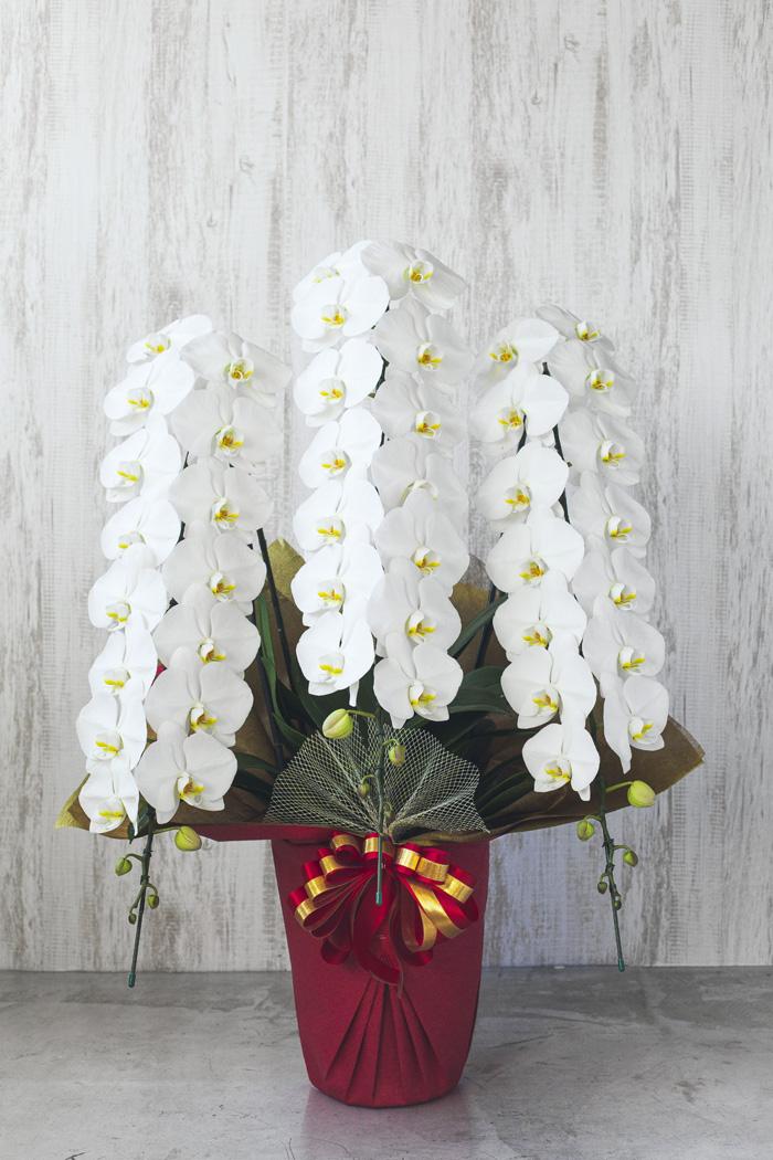 胡蝶蘭 45輪~48輪 3本立ち 白
