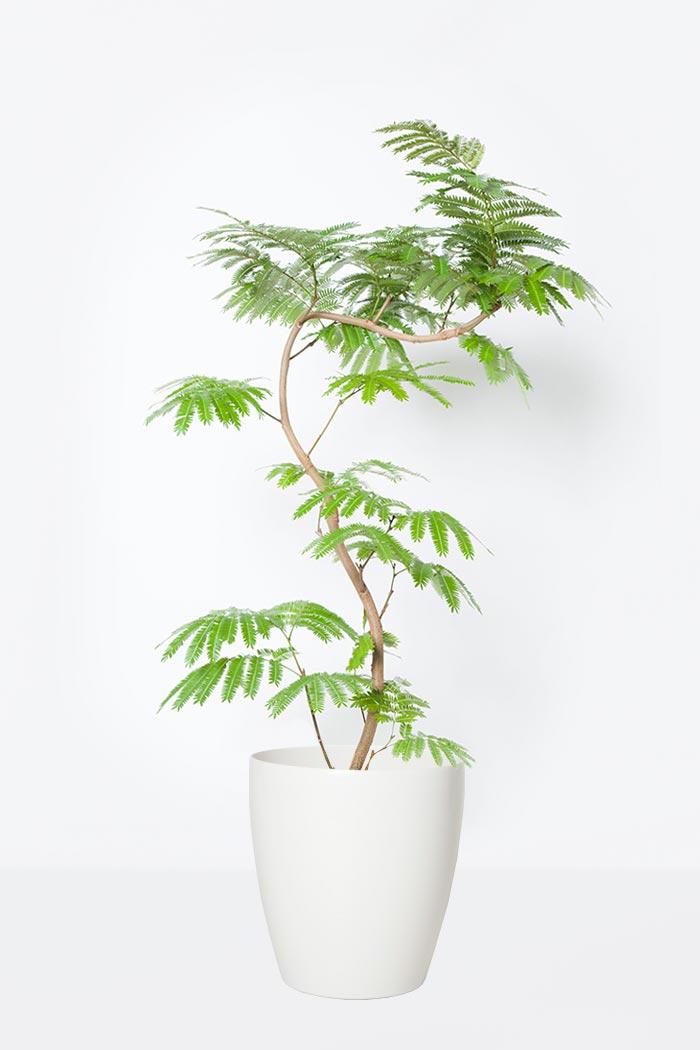 観葉植物 エバーフレッシュ(8号鉢)