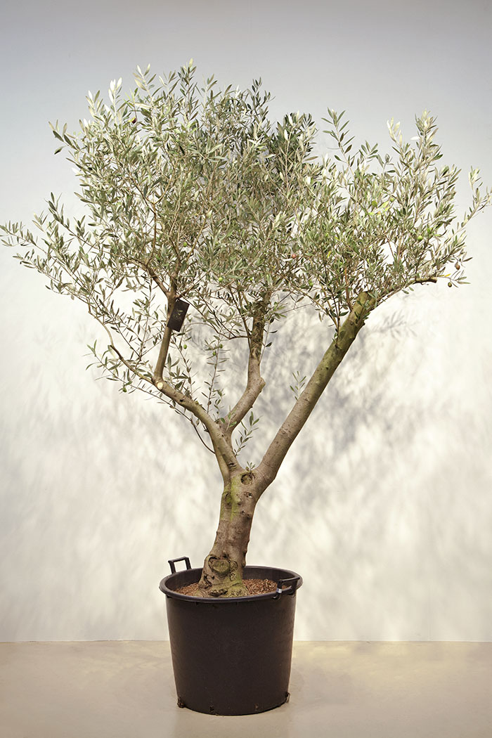 観葉植物 オリーブの木(21号鉢)