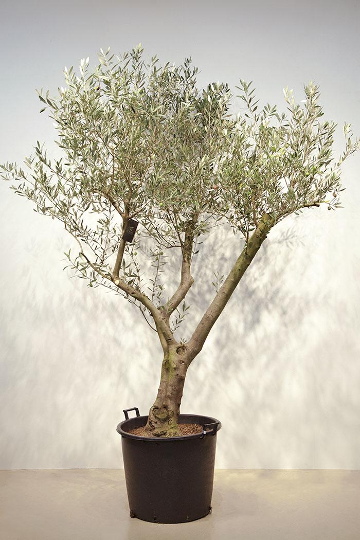 観葉植物 オリーブの木 ※1点物(21号鉢)