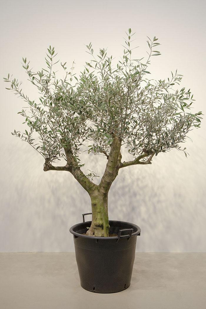 観葉植物 オリーブの木 ※1点物(18号鉢)