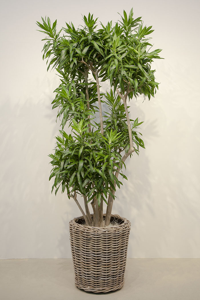 観葉植物 ドラセナ ソングオブ ジャマイカ(10号鉢)