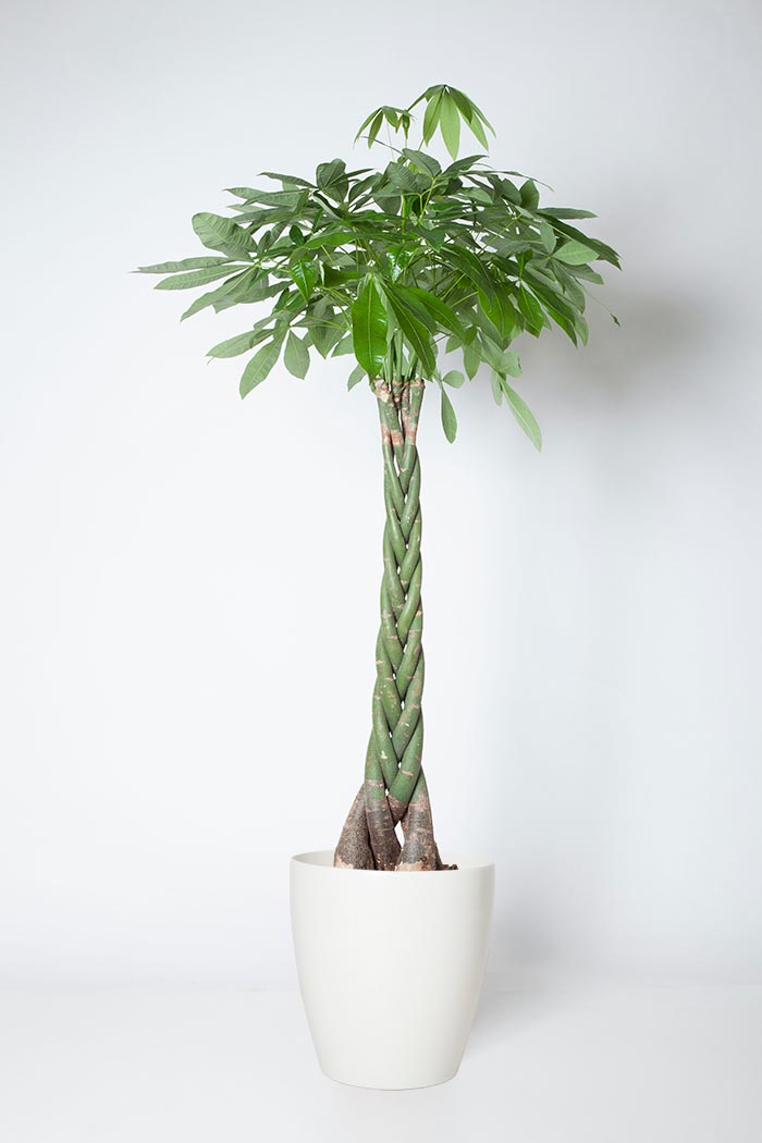 観葉植物 パキラ(10号鉢)