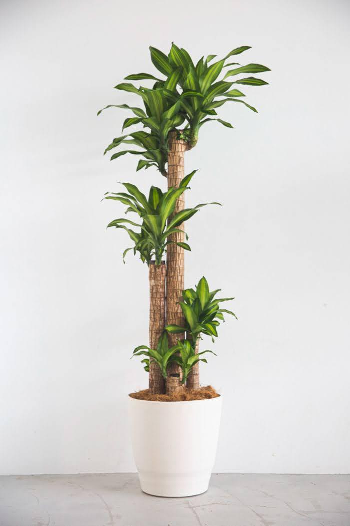 観葉植物 ドラセナ マッサンゲアナ(10号鉢)