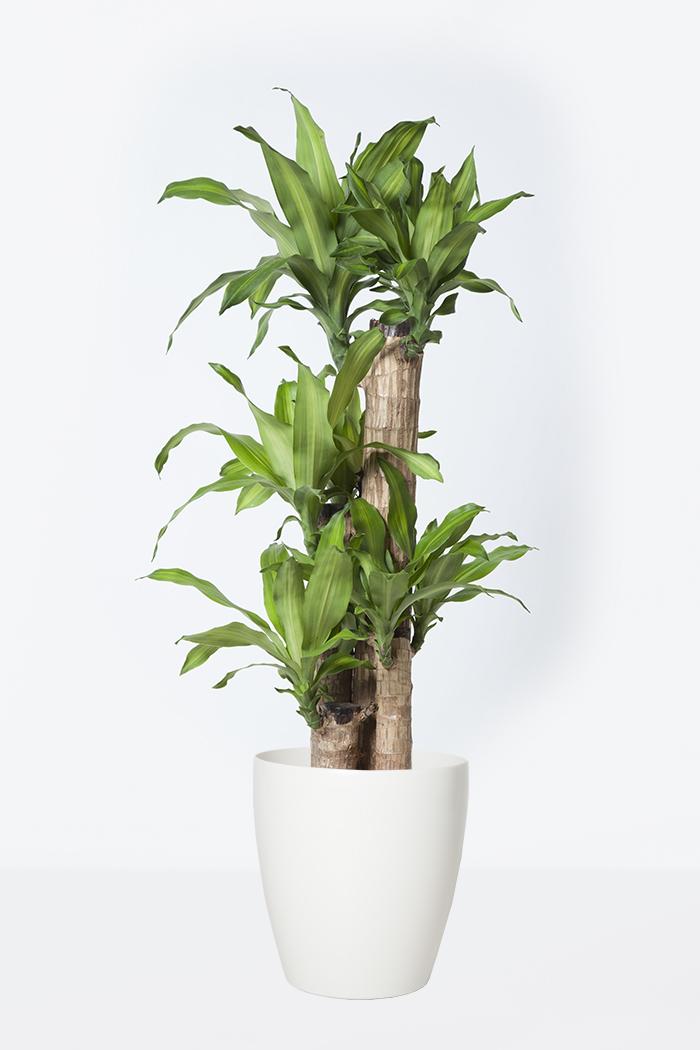観葉植物 ドラセナ マッサンゲアナ(8号鉢)