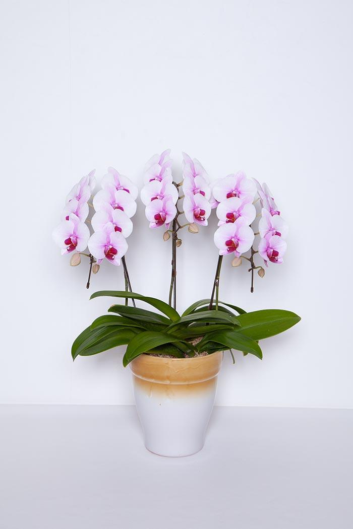 ミディ胡蝶蘭 3本立ち 桜姫