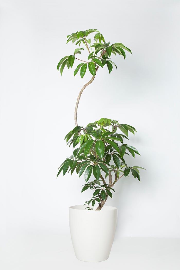 観葉植物 ツピタンサス(10号鉢)