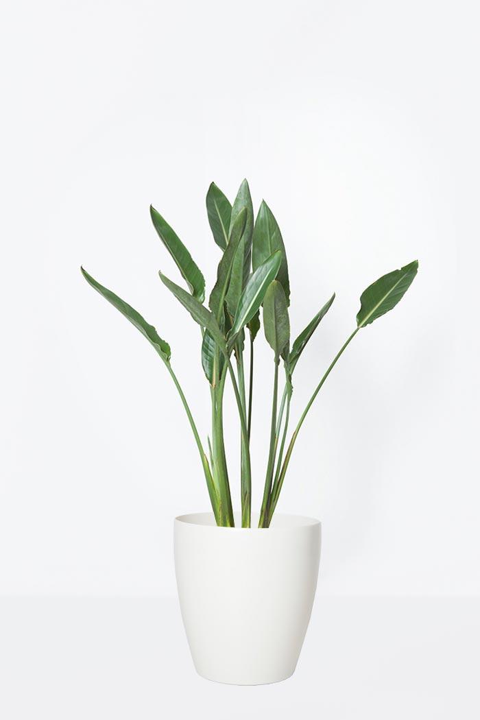 観葉植物 ストレチアレギネ(8号鉢)