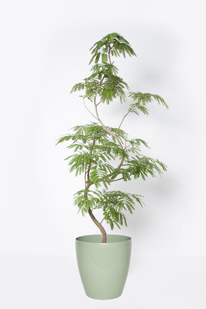 観葉植物 エバーフレッシュ(10号鉢)