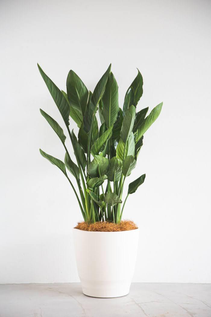 観葉植物 ストレチアレギネ(10号鉢)